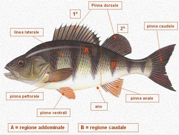 Conosci il tuo avversario ittiopesca for Conosci il tuo corpo scegli il tuo cibo